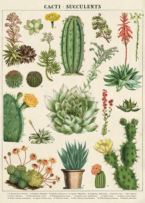 affiche cactus succulentes odette lulu. Black Bedroom Furniture Sets. Home Design Ideas